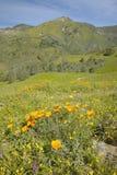 Helle goldene Mohnblumen und die grünen Frühlingshügel von Figueroa-Berg nahe Santa Ynez und Los Olivos, CA Lizenzfreies Stockbild
