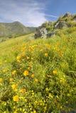 Helle goldene Mohnblumen und die grünen Frühlingshügel von Figueroa-Berg nahe Santa Ynez und Los Olivos, CA stockfoto