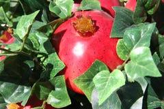 Helle Granatäpfel im Efeu Stockfotos