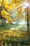 Helle Herbstnatur. Ahornholz und Tageslicht Stockbild