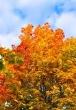 Helle Herbstniederlassungen des Ahornbaums Stockfoto