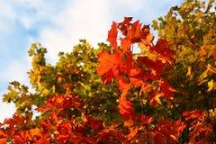 Helle Herbstniederlassungen des Ahornbaums Stockfotos