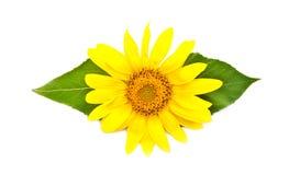 Helle junge Sonnenblume Stockfoto