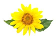 Helle junge Sonnenblume Stockbild