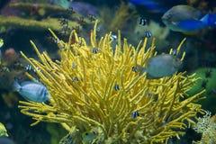 Helle Koralle mit Fischschwimmen Stockbilder