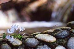 Helle lila kleine Blumen auf Schwarzweiss-Steinen auf dem Hintergrund des Wasserfalls Abschluss oben Nass Steine nahe dem Wasser lizenzfreies stockbild