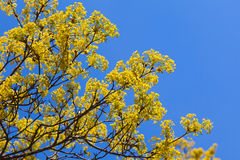 Helle Lindeblüte auf Niederlassungen und blauem Himmel Stockbilder