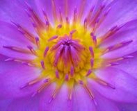 Helle Lotos-Blume Stockbilder