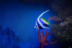 Helle mehrfarbige Fische unter den Korallen an einer Tiefe von Lizenzfreie Stockfotografie