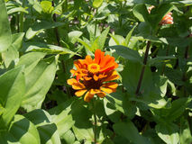 Helle orange Blume Lizenzfreies Stockfoto