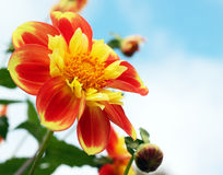 Helle orange und gelbe Dahlie Lizenzfreies Stockbild
