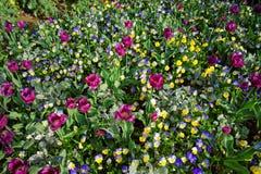 Helle Pansies und Tulpen in einem großen bunten Blumenbeet Lizenzfreies Stockbild