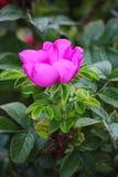 Helle purpurrote Blumen und Grünblätter auf den Niederlassungen wilden Rose Bushs Der Garten- und Parkstrauch, wild stieg Stockfotografie