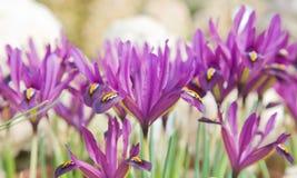 Helle purpurrote Mini-blenden Lizenzfreie Stockbilder