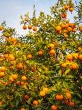 Helle reife Orangen auf Straßen von Jerez de la Frontera Lizenzfreie Stockfotografie