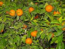 Helle reife Orangen auf Straßen von Jerez de la Frontera Stockfoto