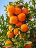 Helle reife Orangen auf Straßen von Jerez de la Frontera Stockbilder
