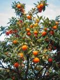 Helle reife Orangen auf Straßen von Jerez de la Frontera Lizenzfreies Stockbild