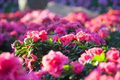 Helle rosa Begonien stockbilder