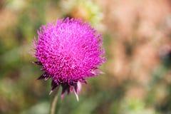 Helle rosa Blume der Heilpflanzedistel auf dem grünen Stiel Makro - Nahaufnahme, BAC Stockbild