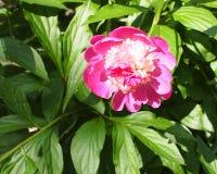 Helle rosa Blume mit grünen Blättern lizenzfreies stockfoto