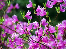 Helle rosa Blumen der Azalee Stockfotos