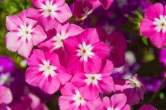 Helle rosa Blumen mit weißer Mitte lizenzfreie stockbilder