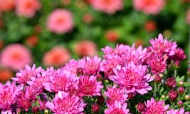 Helle rosa Chrysanthemen Lizenzfreie Stockfotografie