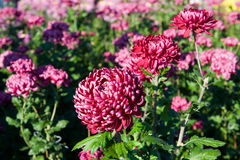 Helle rosa Chrysanthemenblumen Stockfotos
