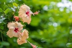 Helle rosa große Blume des purpurroten Hibiscus, den Hibiscus sinensis auf Grün stieg, verlässt natürlichen Hintergrund Tropische stockfotos