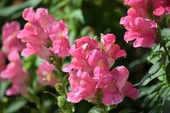 Helle rosa Löwenmäuler Stockfoto