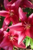 Helle rosa Lilien mit den Blumenblättern, die zum Sommersonnenschein im Hinterhof geöffnet sind, arbeiten im Garten Stockfotografie