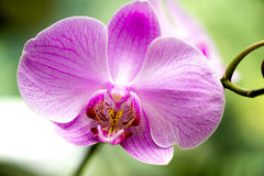 Helle rosa Orchideenblume im Garten lizenzfreie stockbilder