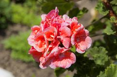 Helle rosa Pelargonienblume Lizenzfreie Stockbilder
