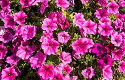 Helle rosa Petunien als natürlicher Hintergrund lizenzfreie stockfotografie