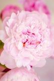 Helle rosa Pfingstrose im Blumenstrauß von Pfingstrosen Stockbilder