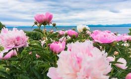 Helle rosa Pfingstrosen im Vordergrund von See Champlain, Vermont Stockfotografie