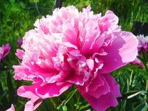 Helle rosa Pfingstrosenblumenblattnahaufnahme Stockfoto