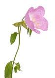 Helle rosa und gelbe Blume einer Nachtkerze lokalisierte AG Stockbilder