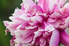 Helle rosa und weiße Pfingstrosenblüte Lizenzfreie Stockbilder