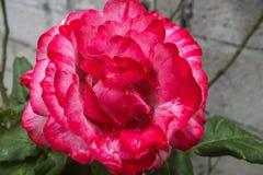 Helle rosa und weiße Rose Stockfoto