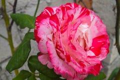 Helle rosa und weiße Rose Stockfotografie