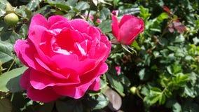 Helle rosafarbene Rose Stockbilder