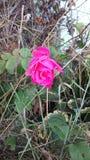 Helle rosafarbene Rose Lizenzfreie Stockbilder
