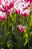 Helle rosafarbene Tulpen in der Leuchte Stockfotos