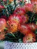 Helle Rot-orange Protea-Blüten in einem gesponnenen Korb Stockfotografie