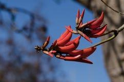 Helle rote Blüten, die von Coral Tree fliegen Stockfotos