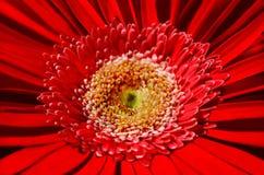 Helle rote Blume mit dem Blütenstaub auf Staubgefässen Lizenzfreie Stockbilder