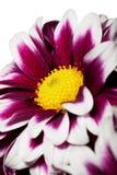 Helle rote Blume mit der gelben Mitte Lizenzfreie Stockfotos