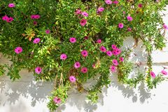 Helle rote Blumen im Grün auf weißem Wandhintergrund Sonniges m Lizenzfreies Stockfoto